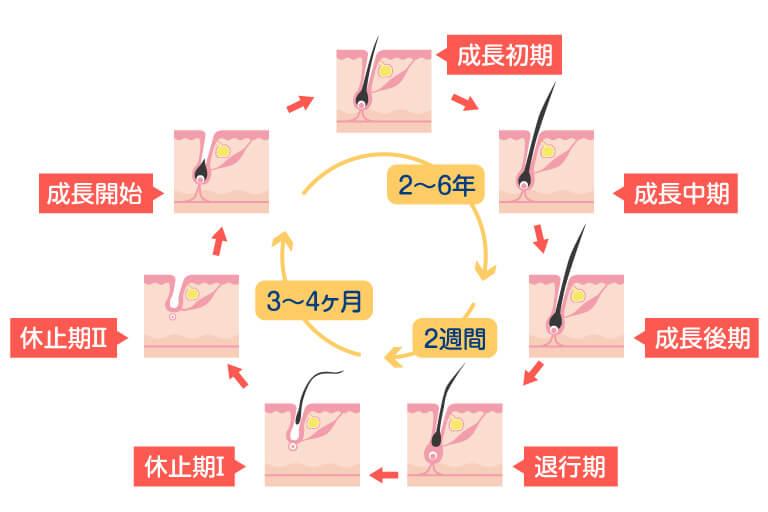 水戸市のAGAクリニックによるヘアサイクル解説