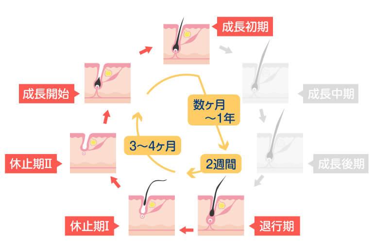 水戸市のAGAクリニックによるAGAのヘアサイクルの解説