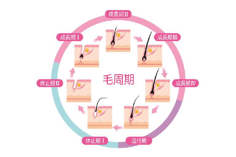 水戸市のAGAクリニックによる女性の薄毛治療に関わるヘアサイクルの解説